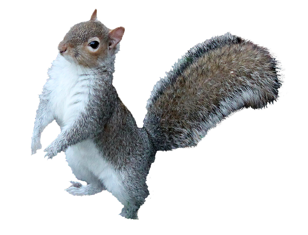 Squirrel Png - ... squirrel png 2 | by monkeywing