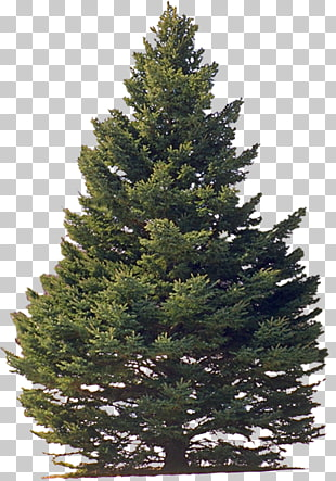 White Pine Png - 135 eastern White Pine PNG cliparts for free download | UIHere