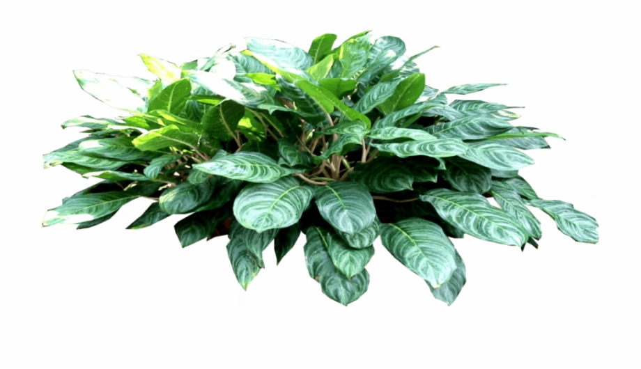 Philodendron Png - 6 - Philodendron - - Houseplant Free PNG Images & Clipart Download ...
