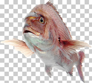 Yellowtail Snapper Png - 6 yellowtail Snapper PNG cliparts for free download   UIHere