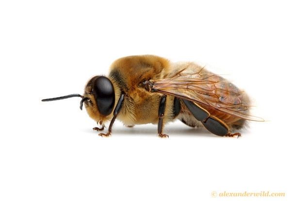 Drone Bee Png - #7 - Drone Bee
