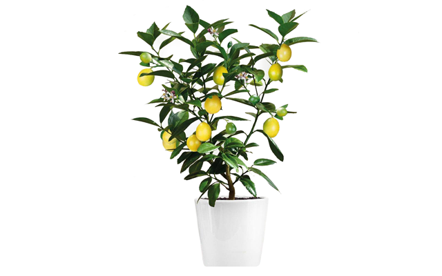 Lime Tree Png - 9 spring time essentials for an urban gin garden — Craft Gin Club ...