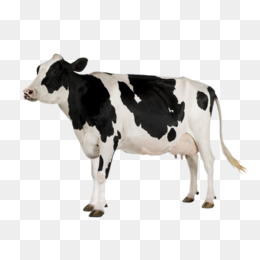 Cow Png - a cow, Cow Clipart, Dairy Cow, Color PNG Image and Clipart