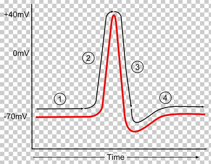 Action Potential Png - Action Potential Diagram Repolarization Hyperpolarization PNG ...
