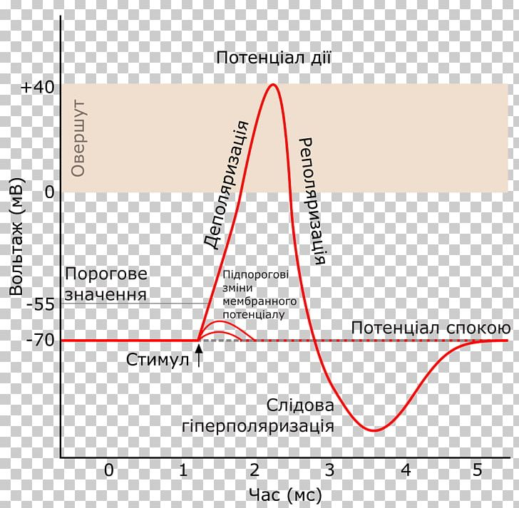 Action Potential Png - Action Potential Nervous System Cell Neuron Nervous Tissue PNG ...