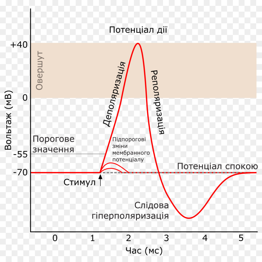 Action Potential Png - Action Potential Text png download - 1040*1024 - Free Transparent ...