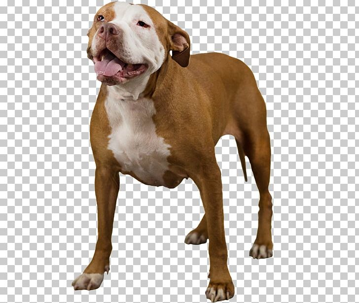 Rare Breed Dog Png - American Bully American Pit Bull Terrier Rare Breed (dog) PNG ...