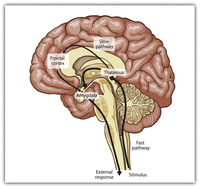 Amygdala Hijack Png - Amygdala Hijacks and Triggers - Worldview Intelligence: Change The ...