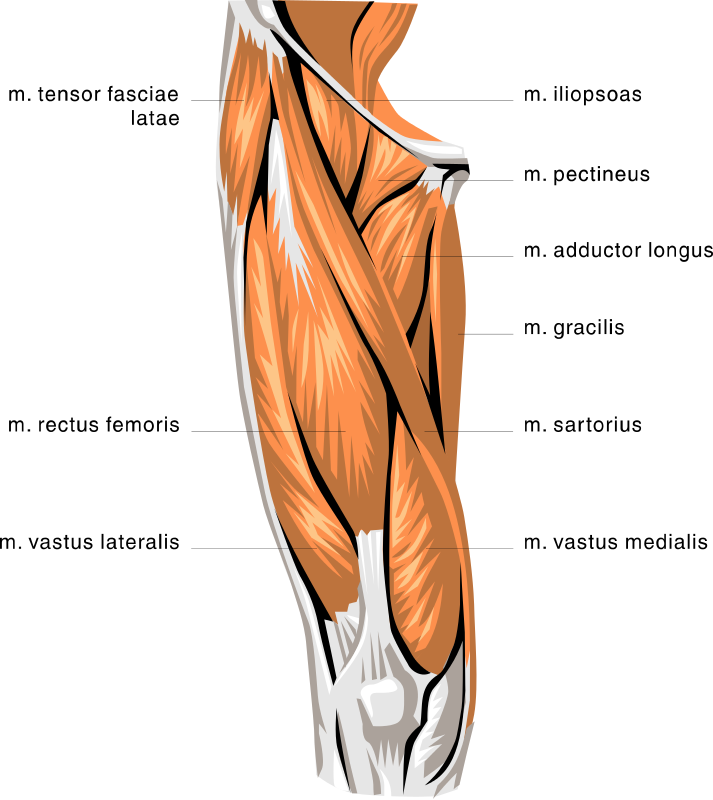 Leg Muscle Png - anatomy thigh muscles - /medical/anatomy/muscle ...