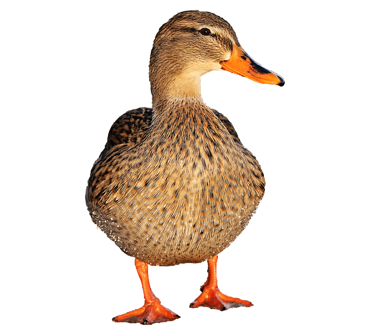 Picture Of Duck Png - animals · ducks