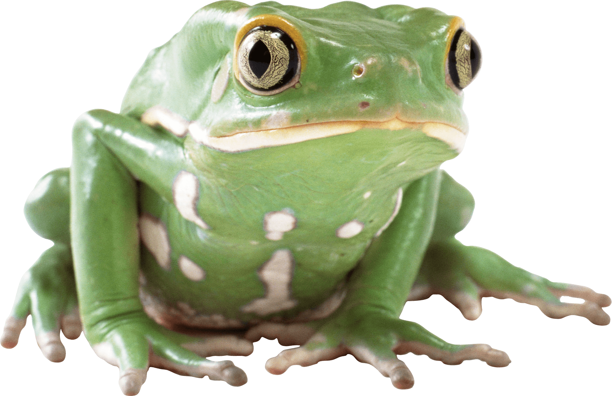 Frog Png - animals · frogs