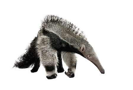 Anteater Png - Anteater png 3 » PNG Image