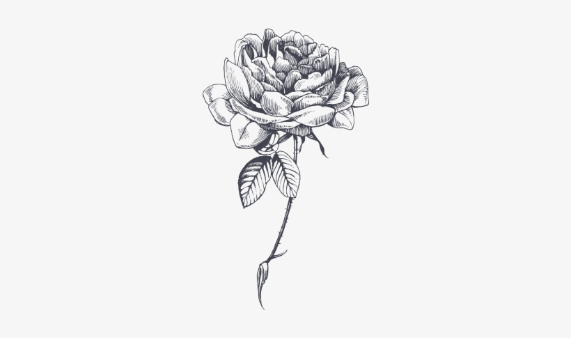 Rose Sketch Png - Antibacterial And Antiseptic, Rose Flower For Oily - Rose Sketch ...