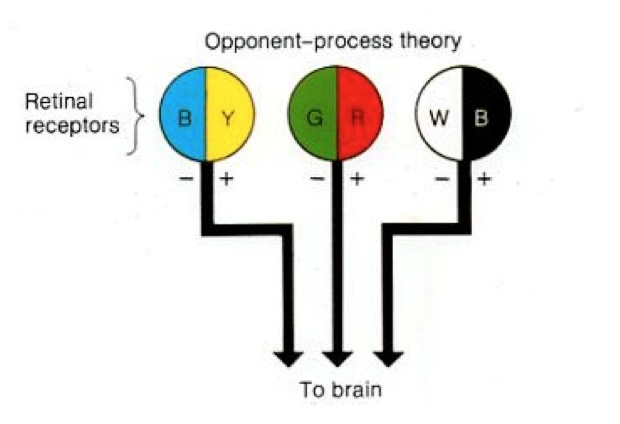 """Opponent Process Png - AP Psychology Review on Twitter: """"Opponent Process Theory: Color ..."""