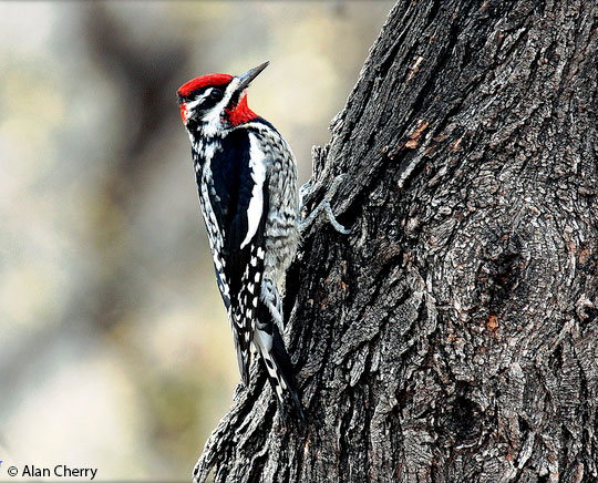 Sapsucker Png - Appearance - Red-naped Sapsucker - Sphyrapicus nuchalis - Birds of ...