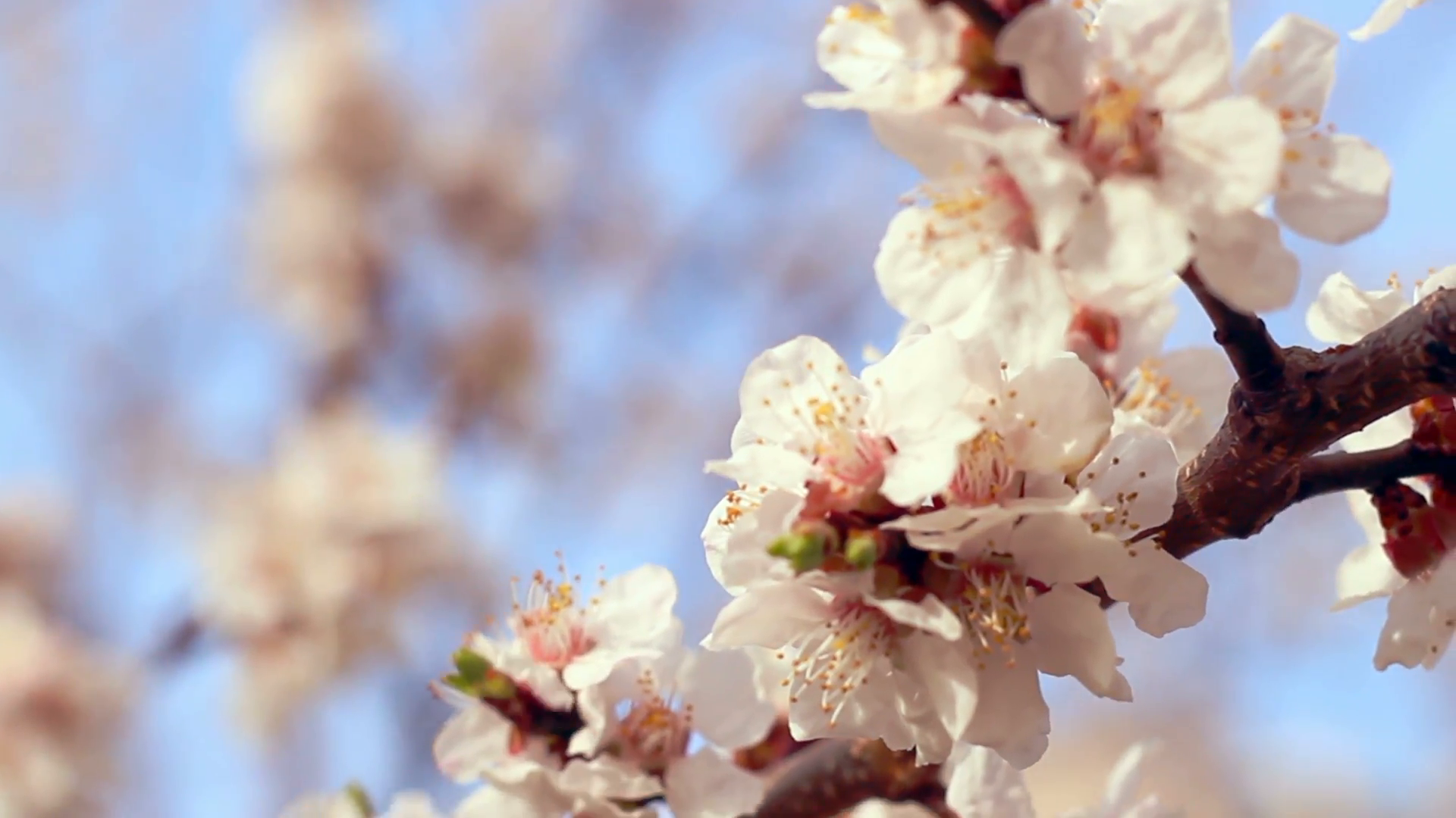 Png Tree With White And Pink Flowers - Apricot blossom. Closeup. Apricot flowers on branch of apricot ...