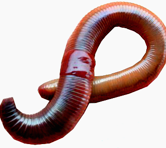 Worms Png - Astha Earthworms - Fishing Worms