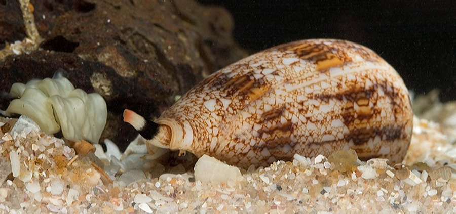 Cone Snails Png - Australian Researchers Discover A Powerful Pain Killer In Sea ...