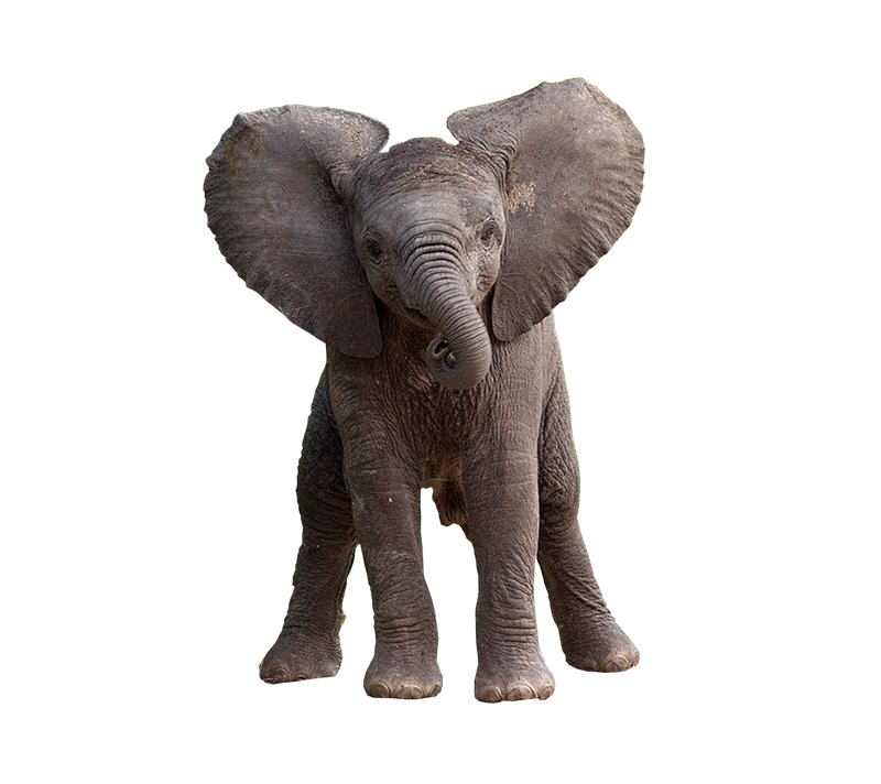 Baby Elephants Png Free Baby Elephants Png Transparent Images 148604 Pngio Search more hd transparent baby elephant image on kindpng. baby elephants png transparent