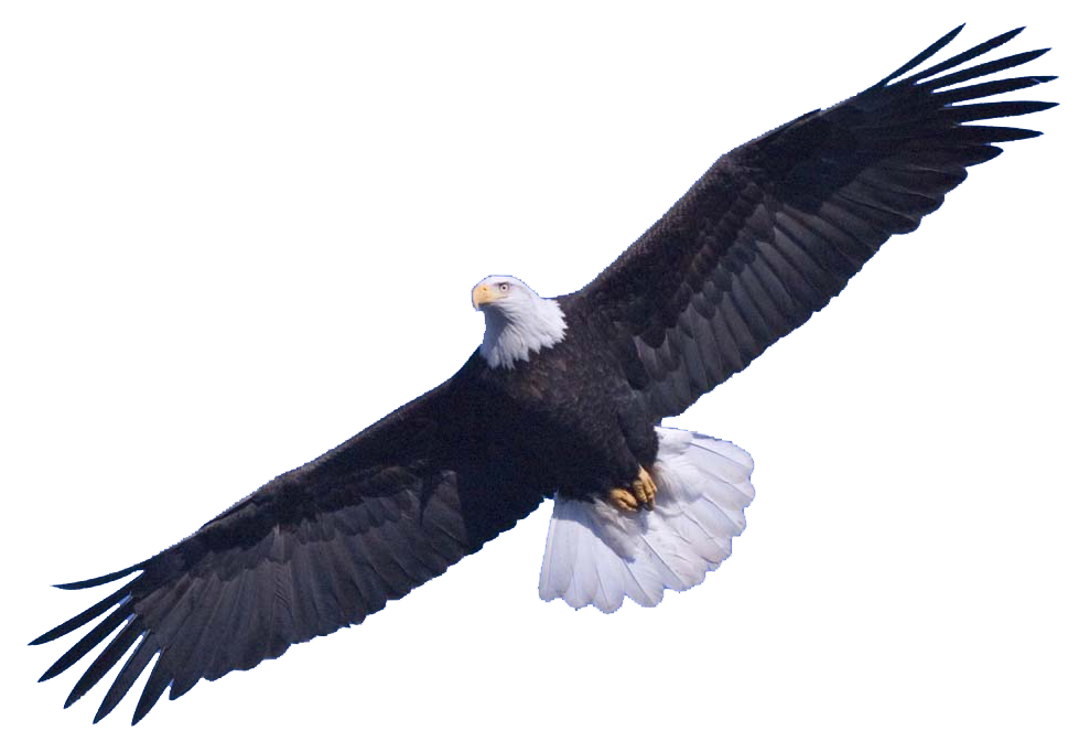 Eagle Png - Bald Eagle Free Download PNG