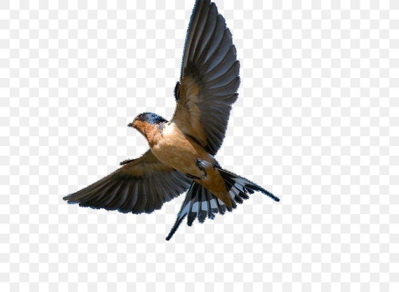 American Cliff Swallow Png - Barn Swallow Bird Swift Tree Swallow, PNG, 600x600px, Swallow ...