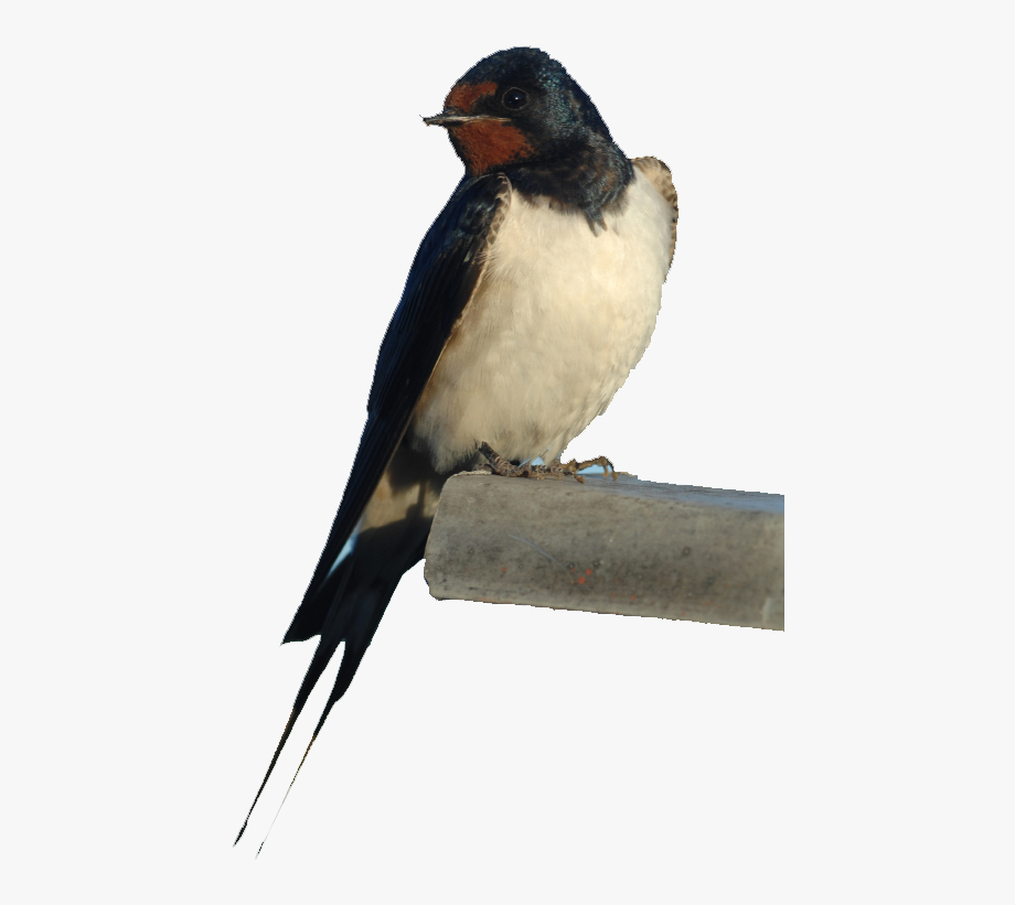 Barn Swallow Png - Barn Swallow Png Photos - Rondine #1051996 - Free Cliparts on ...