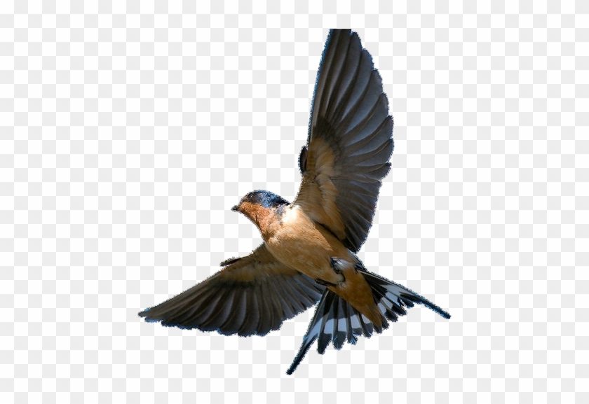 Barn Swallow Png - Barn Swallow Png Transparent Picture - Barn Swallow In Flight, Png ...