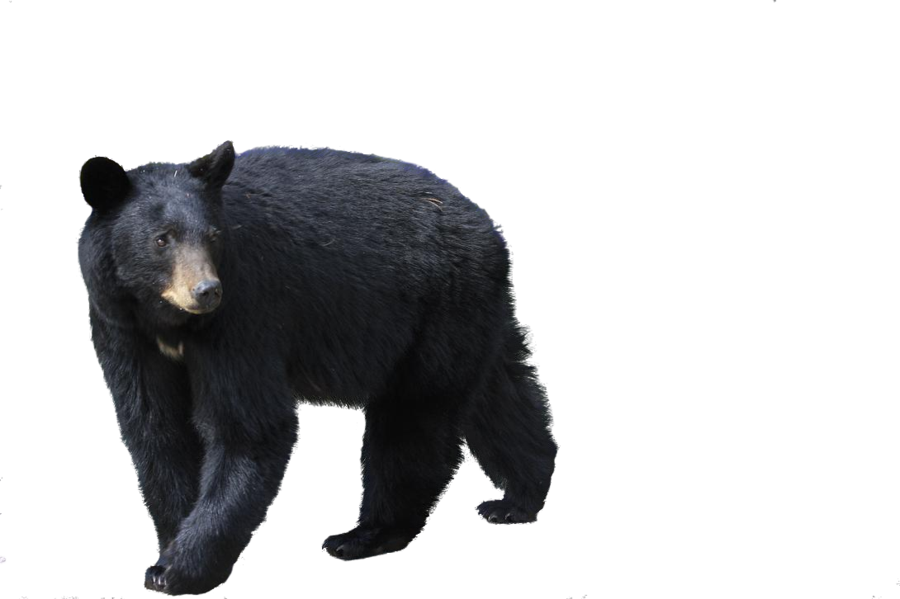 Bear Png - bear png by camelfobia ...