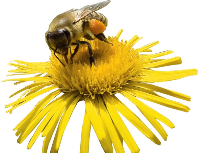 Flower And Bee Png - Bee In Flower ...
