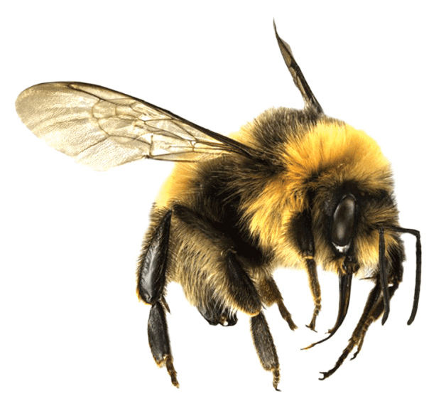 Bee Png - Bee Large