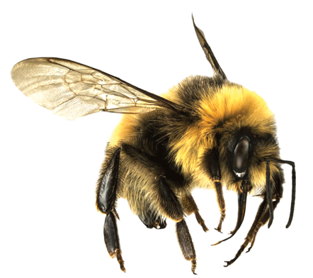 Drone Bee Png - Bee PNG 7