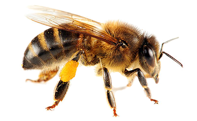 Honey Bee Png - Bee PNG image, free bee picture PNG download