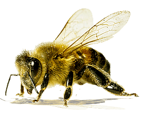Bee Png - Bee Png Image PNG Image