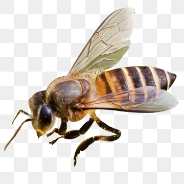 Honeybee Png - Bee PNG Images, Download 1,461 Bee PNG Resources with Transparent ...