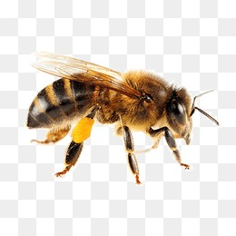 Honey Bee Png - Bee PNG Images, Download 4,562 PNG Resources with Transparent ...