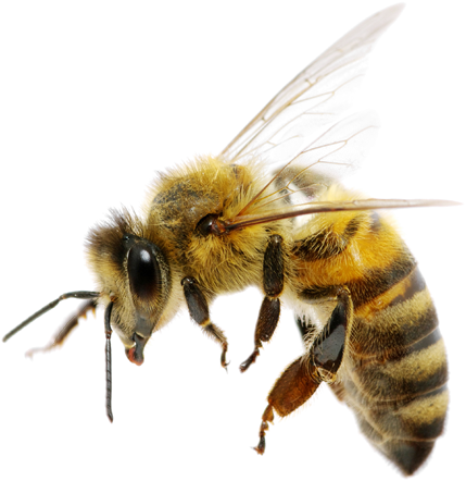Honeybee Png - Bee PNG Images - Free Png Library