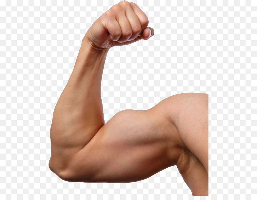 Muscle Arms Png - Biceps Muscle Arm Image Exercise - arm png download - 561*685 ...