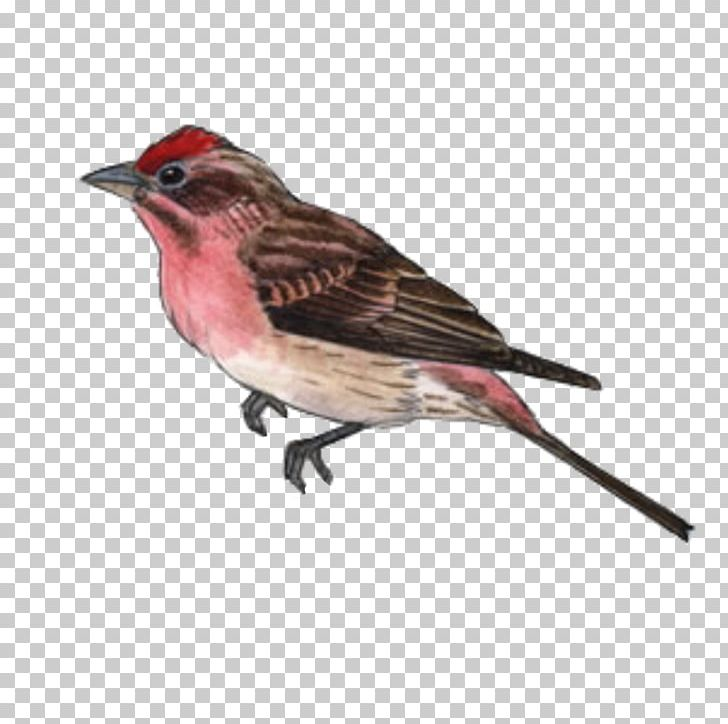 House Finch Png - Bird House Finch American Sparrows Beak PNG, Clipart, American ...