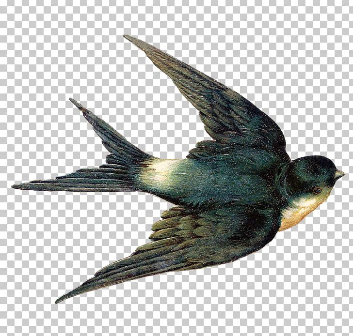 American Cliff Swallow Png - Bird The Swallow Tree Swallow Barn Swallow PNG, Clipart, American ...