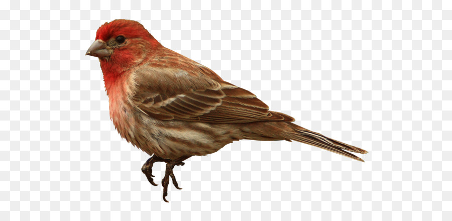 House Finch Png - Bird Wing png download - 600*421 - Free Transparent House Finch ...