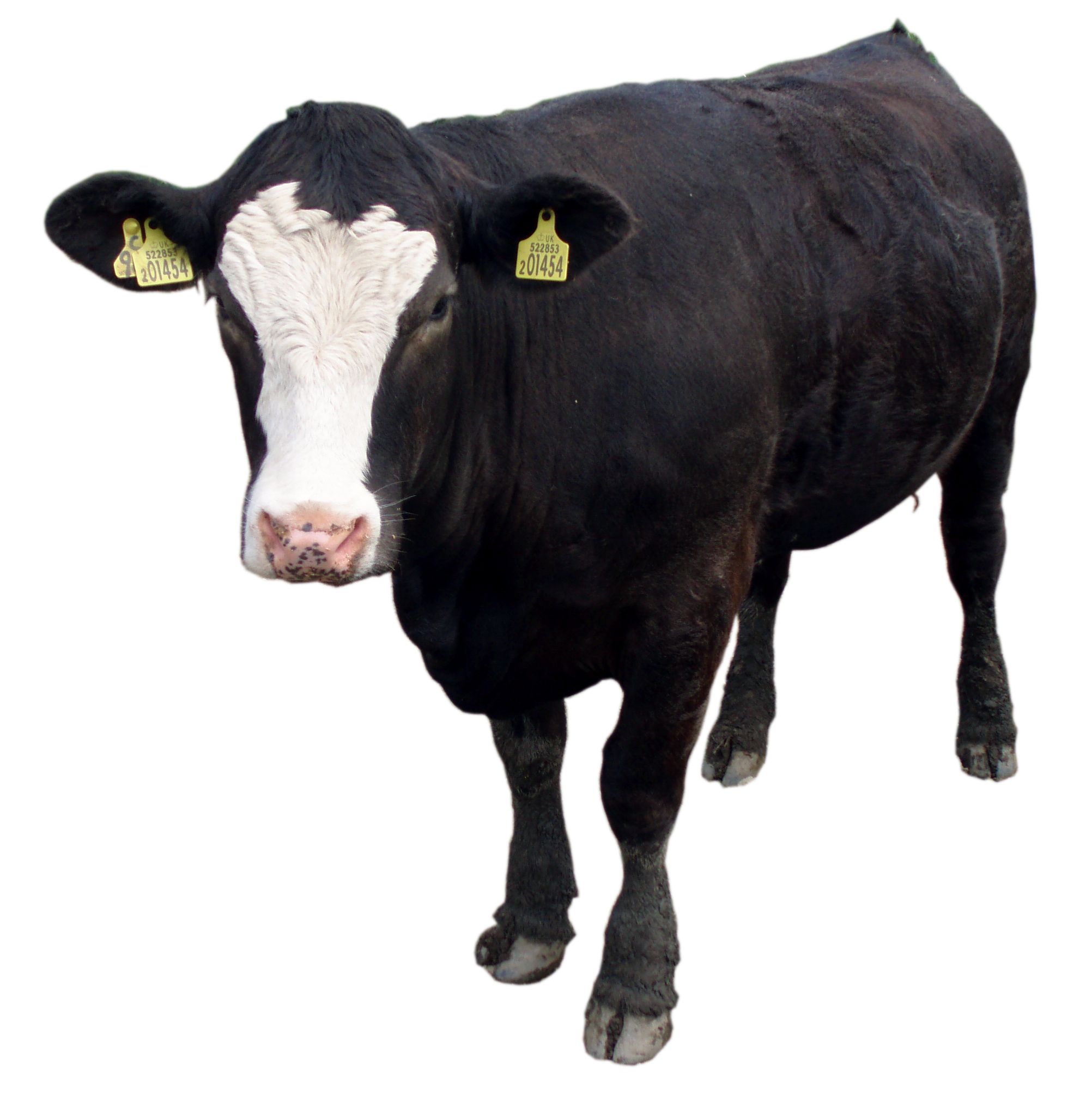 Cow Png - Black cow PNG image, download picture
