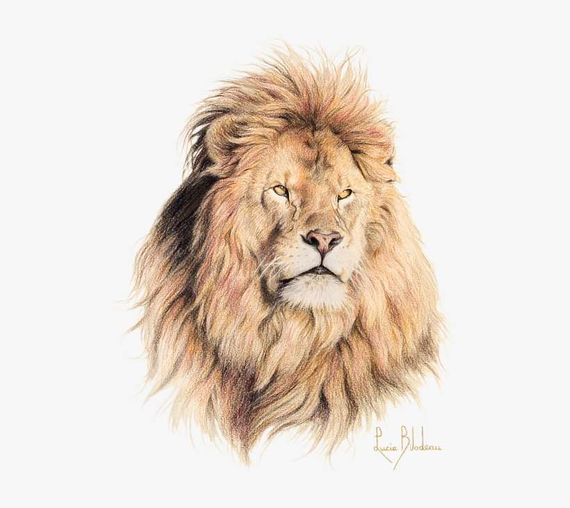 Realistic Lion Drawings Png Free Realistic Lion Drawings Png Transparent Images 134348 Pngio Realistic lion outline (page 1). realistic lion drawings png transparent