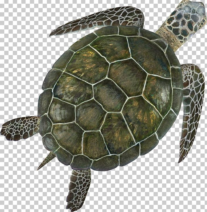 Tortoise Shell Png - Box Turtle Sea Turtle Turtle Shell PNG, Clipart, Animal, Animals ...