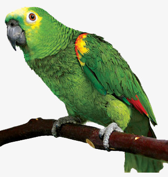 Parrots Png - branches on parrots, Parrot, Branches, Green PNG Image and Clipart