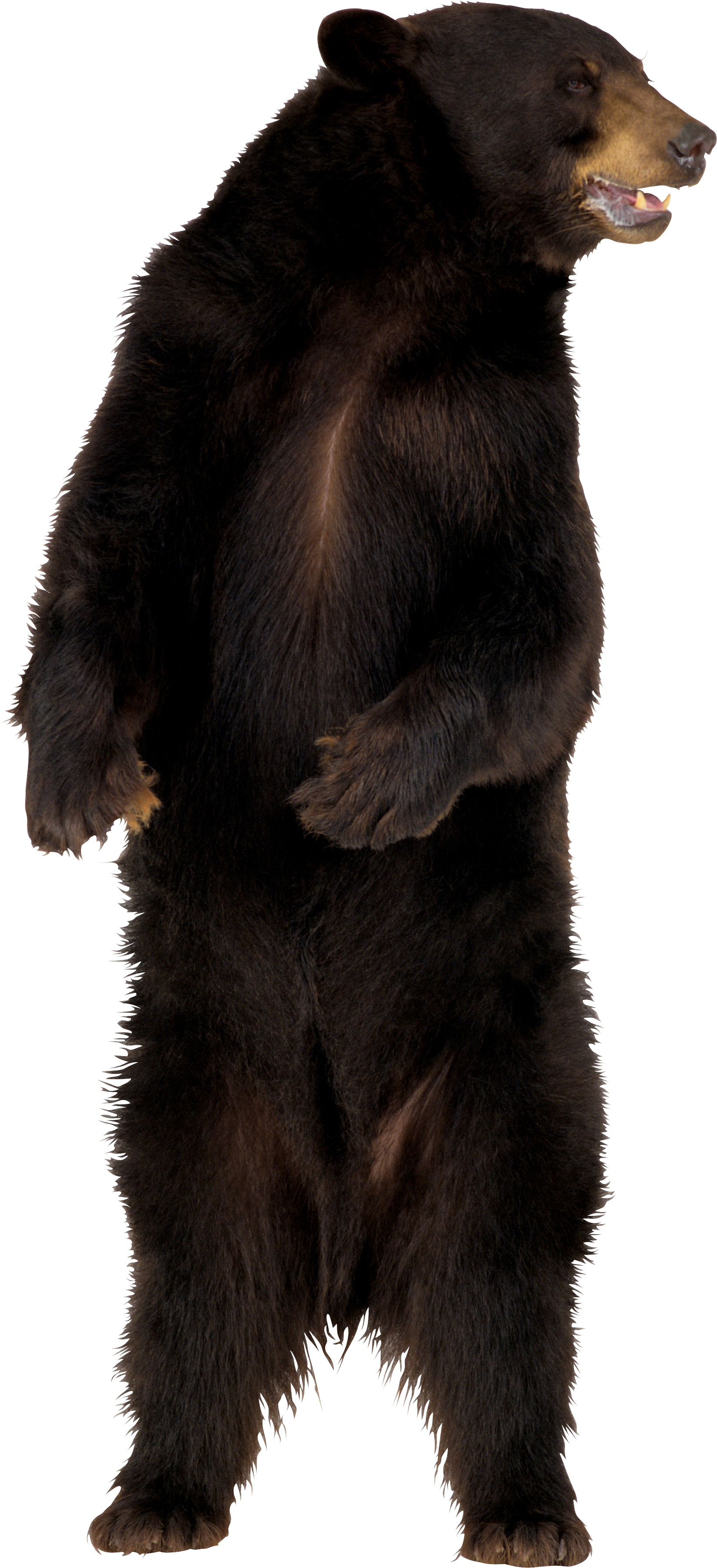Bear Png - brown bear PNG image