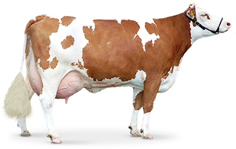 Cow Png - brown Cow PNG image