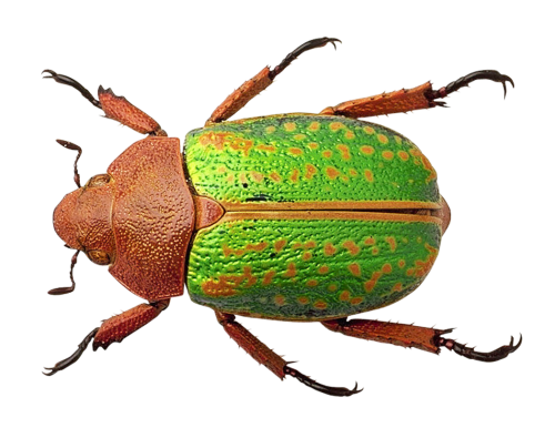 Bug Png - Bug PNG Transparent Image
