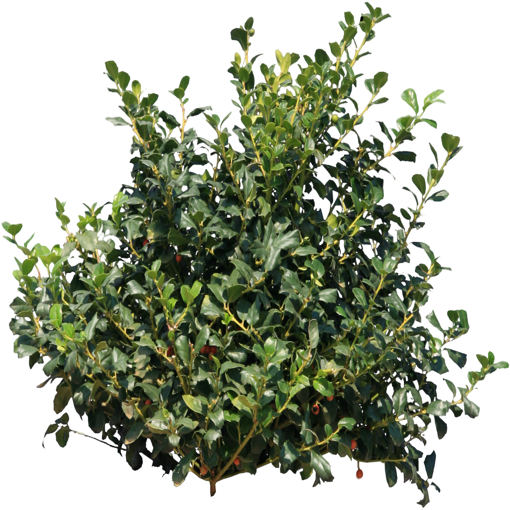 Png Bushes - Bushes tree png #42035 - Free Icons and PNG Backgrounds