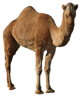 Camel Png - Camel PNG Picture