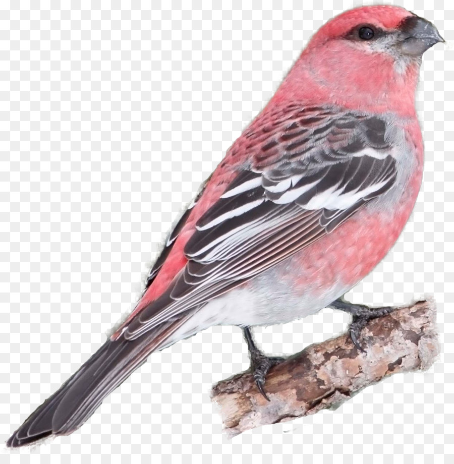 House Finch Png - Cardinal Bird png download - 1248*1269 - Free Transparent House ...